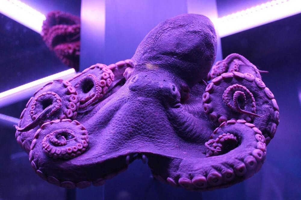 מה לעשות בלונדון ביולי 2018 - סודות עמוקים מתגלים בתערוכה על יצורים החיים מתחת למים. תמנון משומר