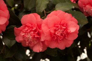 אטרקציות בלונדון בחודש מרץ 2019 - פסטיבל פרחי קמלייה או קמליה בבית צ'יזיק - צ'יזיק האוס