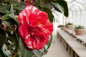 אטרקציות בלונדון במרץ 2019 - פסטיבל פרחי קמלייה או קמליה בבית צ'יזיק - צ'יזיק האוס