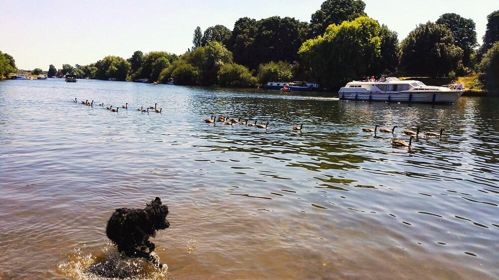 לונדון בקיץ - חיות מצטננות בנהר ריצ'מונד